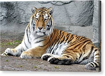 Tiger Resting Canvas Print