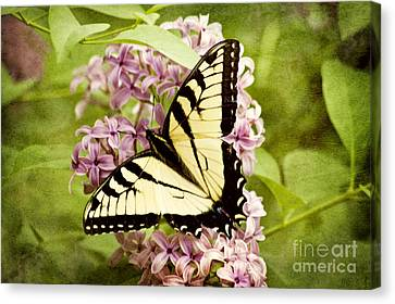 Tiger Swallowtail Butterfly Canvas Print by Cheryl Davis