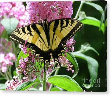 Tiger Swallowtail Butterfly Canvas Print by Randi Shenkman