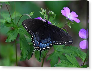 Canvas Print featuring the photograph Tiger Swallowtail Female Dark Form On Wild Geranium by Daniel Reed