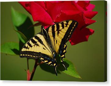 Tiger Swallowtail On A Red Rose Canvas Print