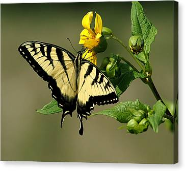 Tiger Swallowtail  Canvas Print by TnBackroadsPhotos