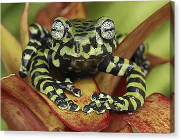 Tigers Treefrog Hyloscirtus Tigrinus Canvas Print