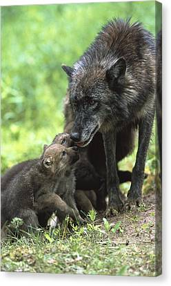 Timber Wolf Canis Lupus Mother Canvas Print by Konrad Wothe