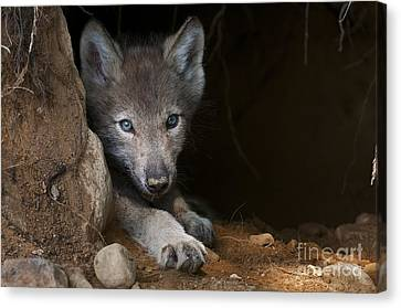 Timber Wolf Pup In Den Canvas Print by Michael Cummings