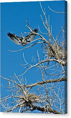 Time To Nest Canvas Print by Colleen Coccia