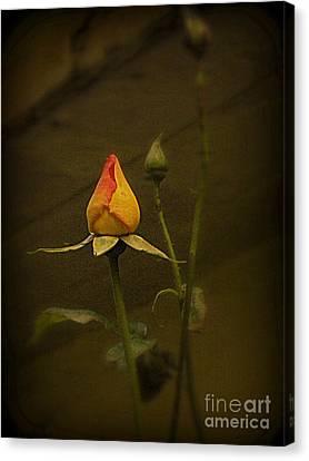 Timeless Rose Canvas Print by Carol  Hynes