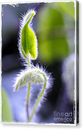 Tiny New Leaves Canvas Print by Judi Bagwell