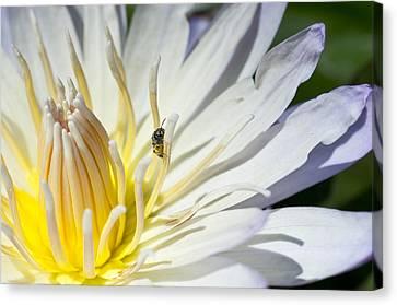 Tiny Pollinator  Canvas Print