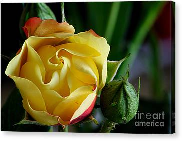 Canvas Print featuring the photograph Tiny Rose by Adrian LaRoque