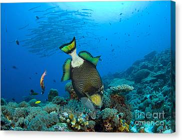 Titan Triggerfish Picking At Coral Canvas Print by Steve Jones
