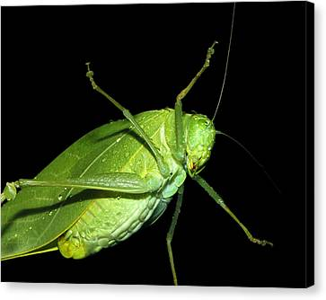 To An Insect Pretty Katydid Canvas Print by Tracie Kaska