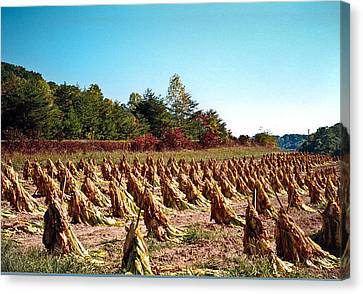Tobacco Field Staked For Harvast Canvas Print by Douglas Barnett