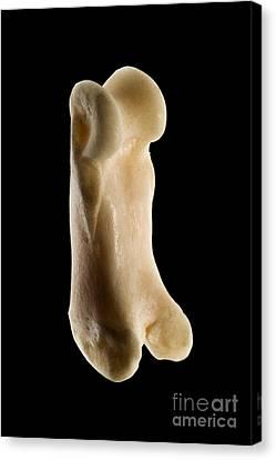 Toe Bone Of A Bobcat Lynx Rufus Canvas Print by Raul Gonzalez Perez