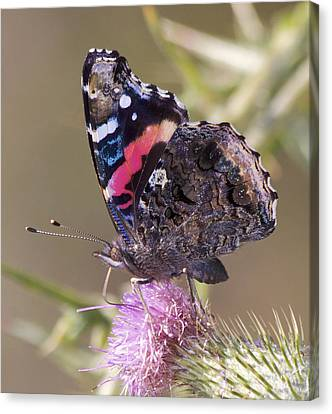 Tortoise Butterfly Folded Canvas Print by Tracey Levine