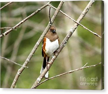 Towhee Female Canvas Print by Yumi Johnson