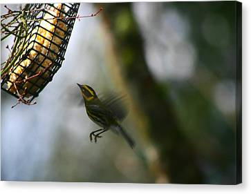 Canvas Print featuring the photograph Townsend Warbler In Flight by Kym Backland