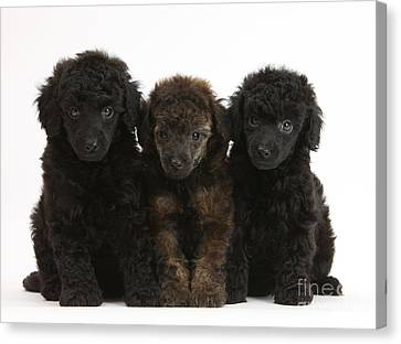 House Pet Canvas Print - Toy Poodle Pups by Mark Taylor