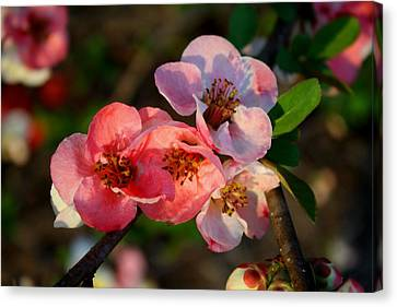 Canvas Print featuring the photograph Toyo Nishiki Quince by Kathryn Meyer