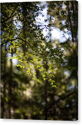Tranquil Forest Canvas Print by Mike Reid