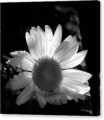 Translucent Daisy Canvas Print by Cindy Haggerty