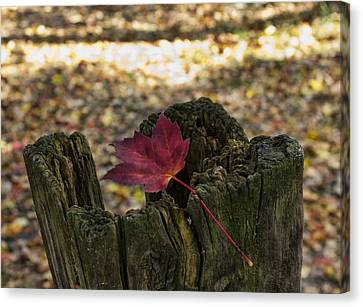 Trapped Maple Leaf Canvas Print by Peter Chilelli