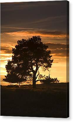 Tree At Sunset, North Yorkshire, England Canvas Print by John Short