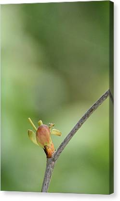 Canvas Print featuring the photograph Tree Bud by Peg Toliver