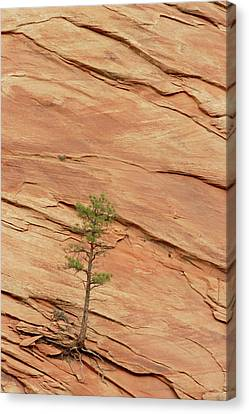 Tree Clinging To Sandstone Formation Canvas Print