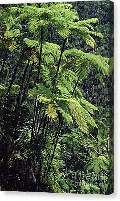 Tree Ferns El Yunque Canvas Print by Thomas R Fletcher