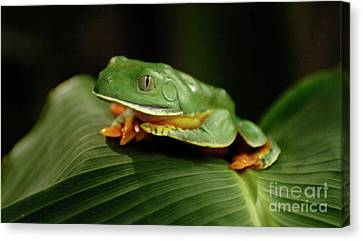 Tree Frog 1 Canvas Print by Bob Christopher
