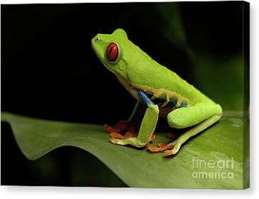 Tree Frog 14 Canvas Print by Bob Christopher