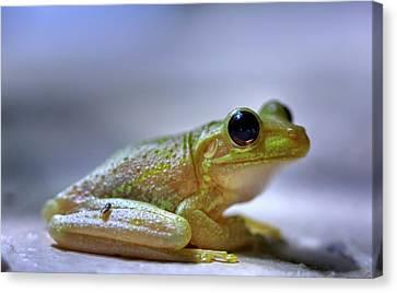 Tree Frog Canvas Print by Nick  Shirghio