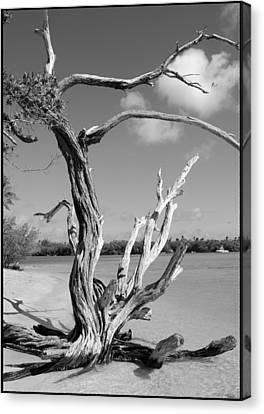 Tree In Tobago Canvas Print by Julie VanDore