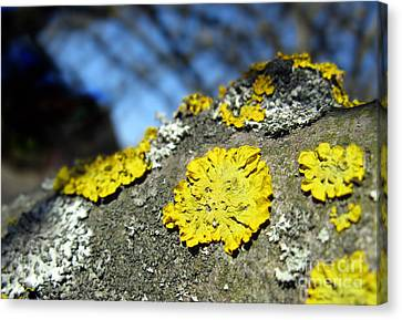 Canvas Print featuring the photograph Tree Lichen by Ausra Huntington nee Paulauskaite