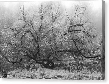 Tree Of Enchantment Canvas Print by Debra and Dave Vanderlaan