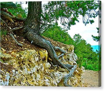 Tree Root Tenacity Canvas Print by Frank SantAgata