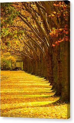 Tree Row In Fall Canvas Print by Matthias Siewert