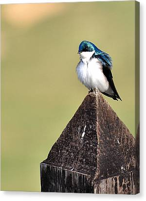 Tree Swallow 1 Canvas Print by Todd Hostetter
