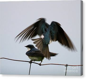 Tree Swallows Courtship Canvas Print