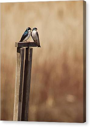 Tree Swallows On Wood Post Canvas Print