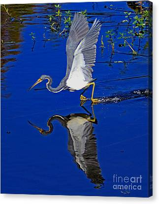 Canvas Print featuring the photograph Tri-color Heron Water Ski by Larry Nieland