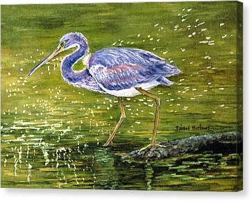 Tri Colored Heron Canvas Print