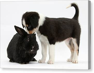 Tricolor Border Collie Pup With Black Canvas Print by Mark Taylor