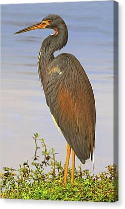 Tricolor Heron Canvas Print by Dave Mills