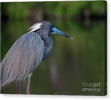 Tricolored Heron Canvas Print by Art Whitton