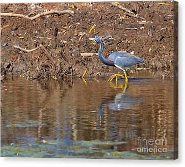 Tricolored Heron In The Winter Marsh Canvas Print by Louise Heusinkveld