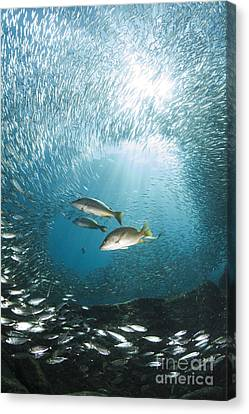 Trio Of Snappers Hunting For Bait Fish Canvas Print by Todd Winner