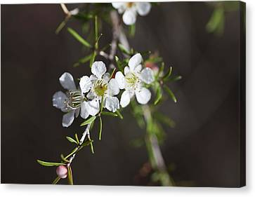 Canvas Print featuring the photograph Triple Blossom by Carole Hinding