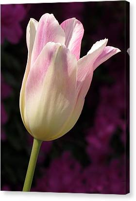 Canvas Print featuring the photograph Triumph Shirley Tulip by Darleen Stry